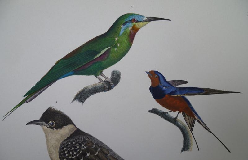 Les Oiseaux d'Egypte et de Syrie, gravure et procédé Jacomet
